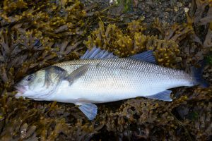 sea bass regulations 2020
