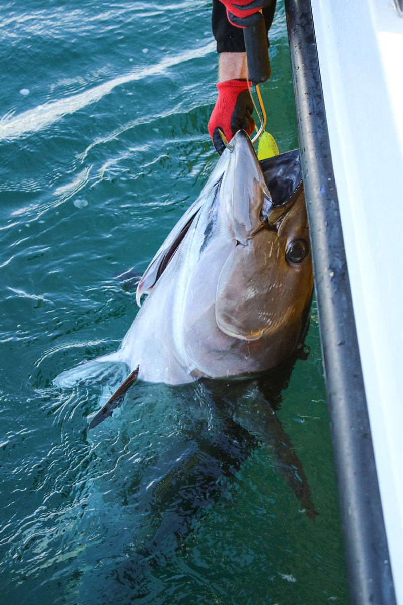 Bluefin tuna catch and release Ireland