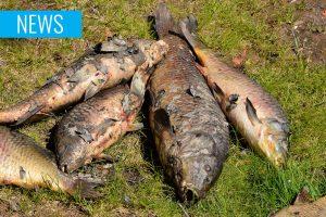 dead carp CEV