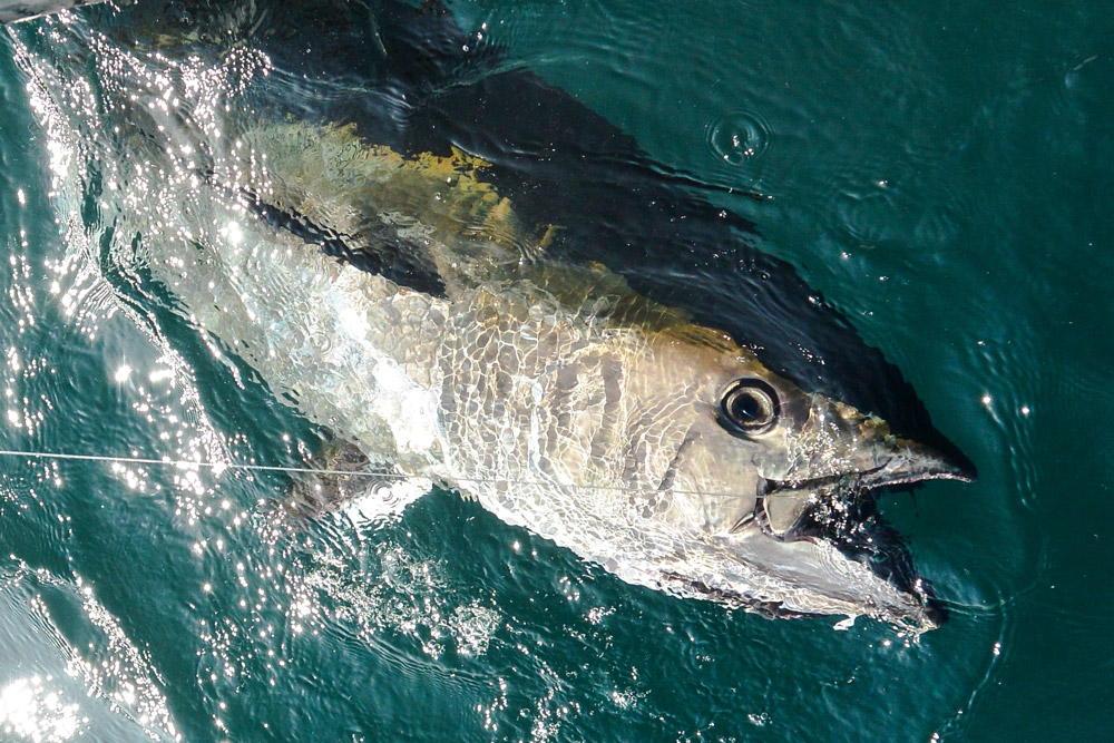 bluefin tuna angling