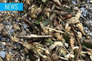 dead crayfish Owel