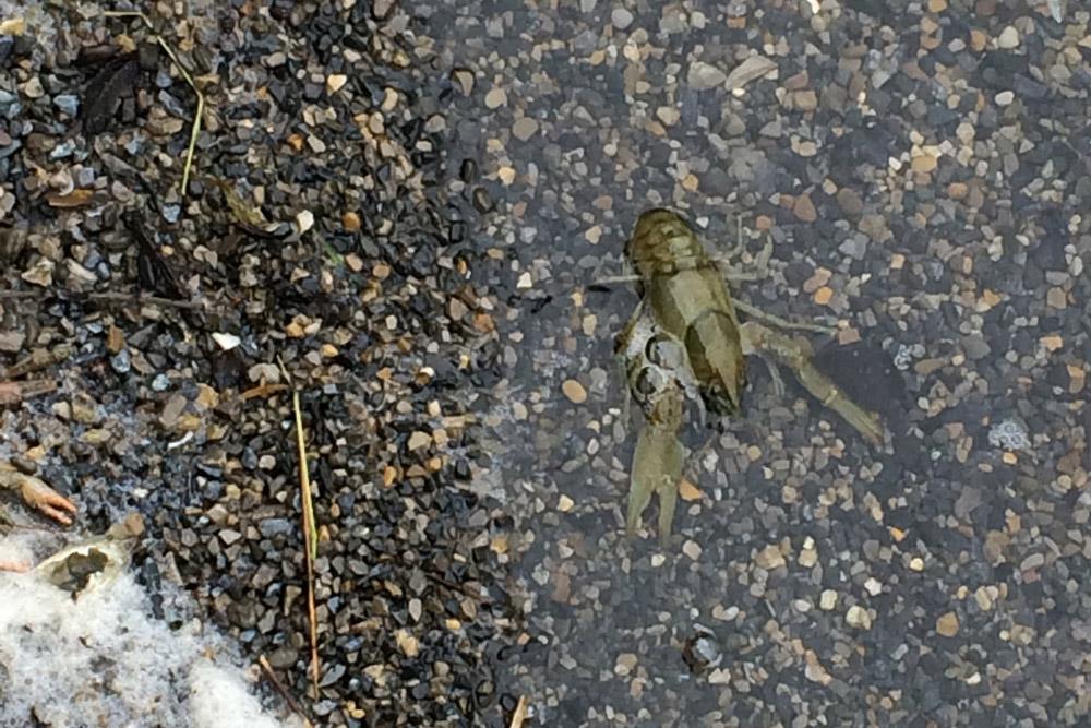 dead crayfish