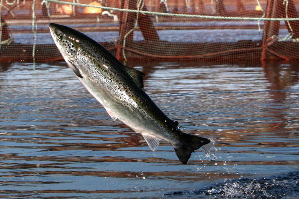 farmed salmon leaping