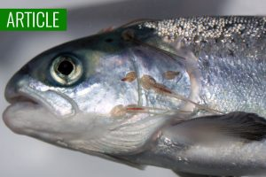 sea lice salmon farming