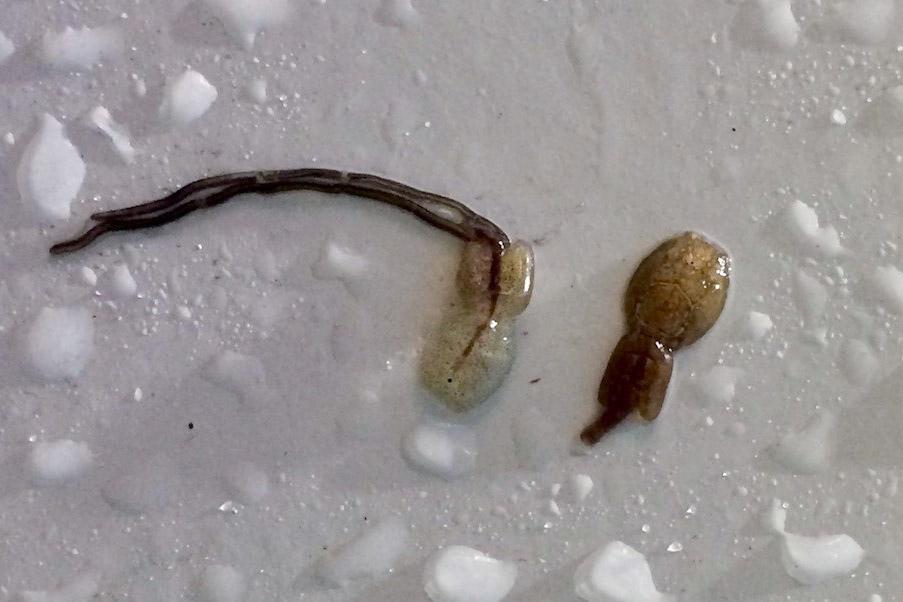 transparent sea lice