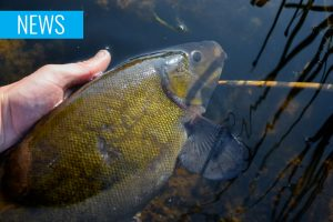 bream tench bylaw Ireland