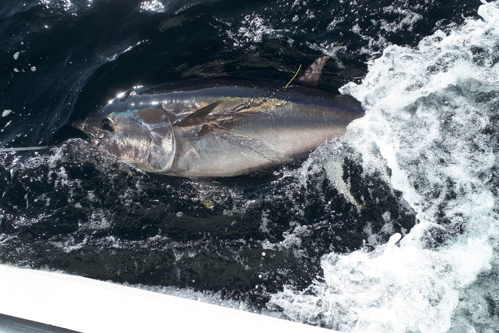 bluefin tuna Ireland