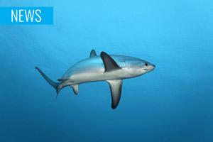 common thresher shark underwater